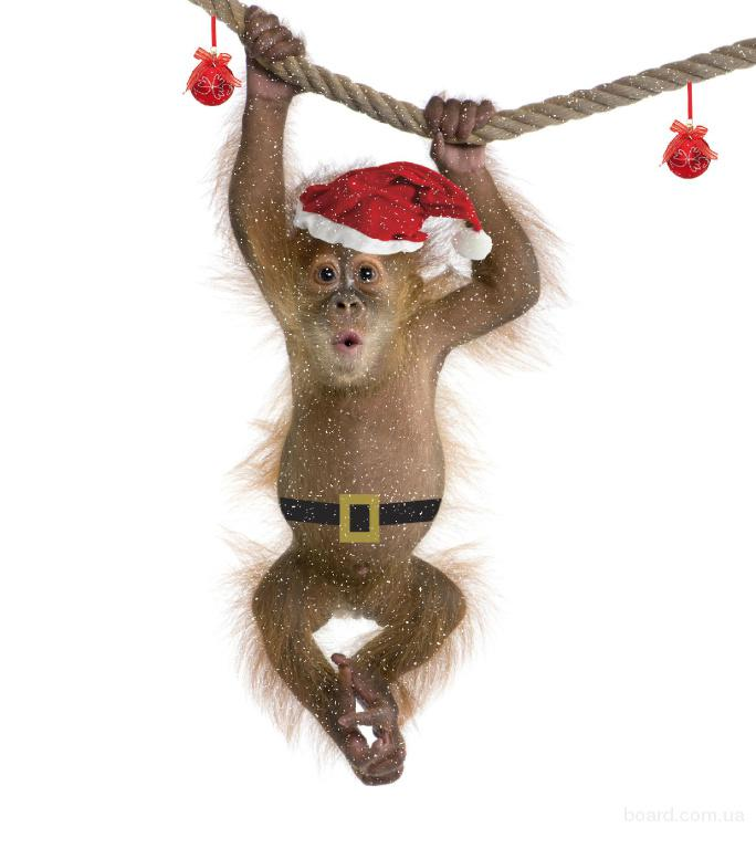 Символ 2016 року мавпа, мавпочка оренда