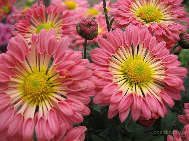 Продам саженцы корейских мелкоцветковых низкорослых и огородно-горшечных хризантем.