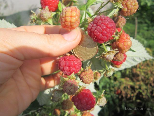 Продам саженцы малины ремонтантной (урожай 2 раза в год)