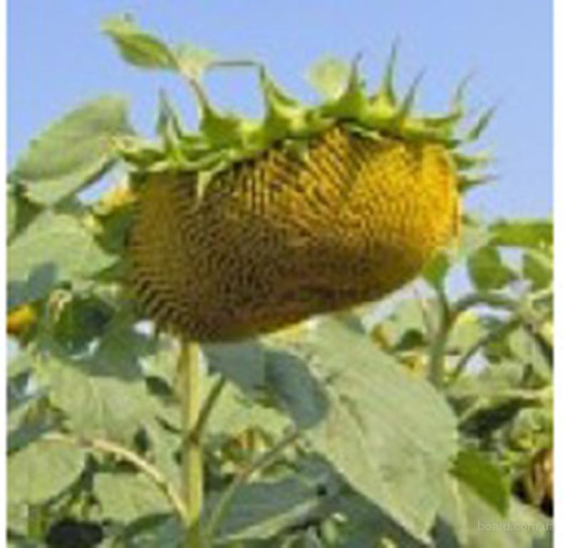 Семена подсолнуха, кукурузы НК Брио Опера Неома Тунка