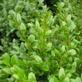 Продам Самшит вечнозеленый Búxus, Самшит Шар