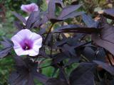 Продам укорененные черенки ипомеи батат Sweet Caroline Purple.
