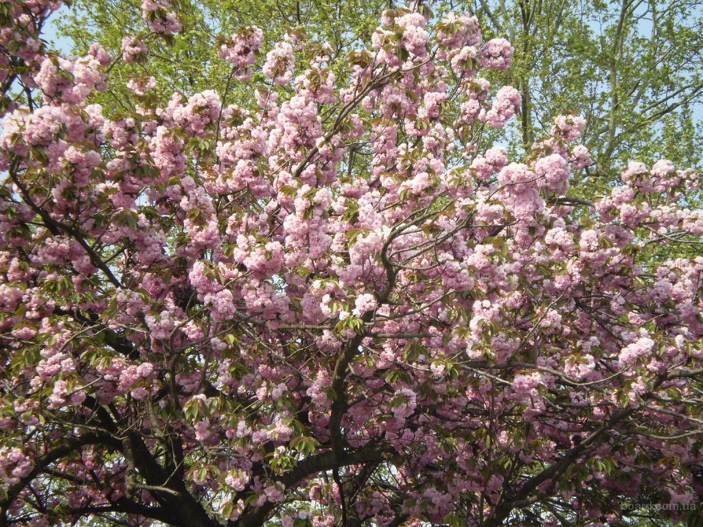 Ужгород в цвете сакур