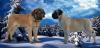 Щенки самой крупной породы собак в Мире-английский мастиф