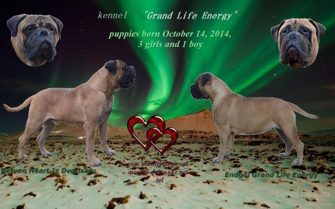 Бульмастиф породистые щенки от европейских собак