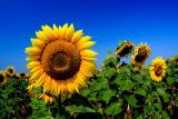 Подсолнечник, семена подсолнечника, гибриды подсолнечника, семена подсолнечника под евролайтинг, семена подсолнуха