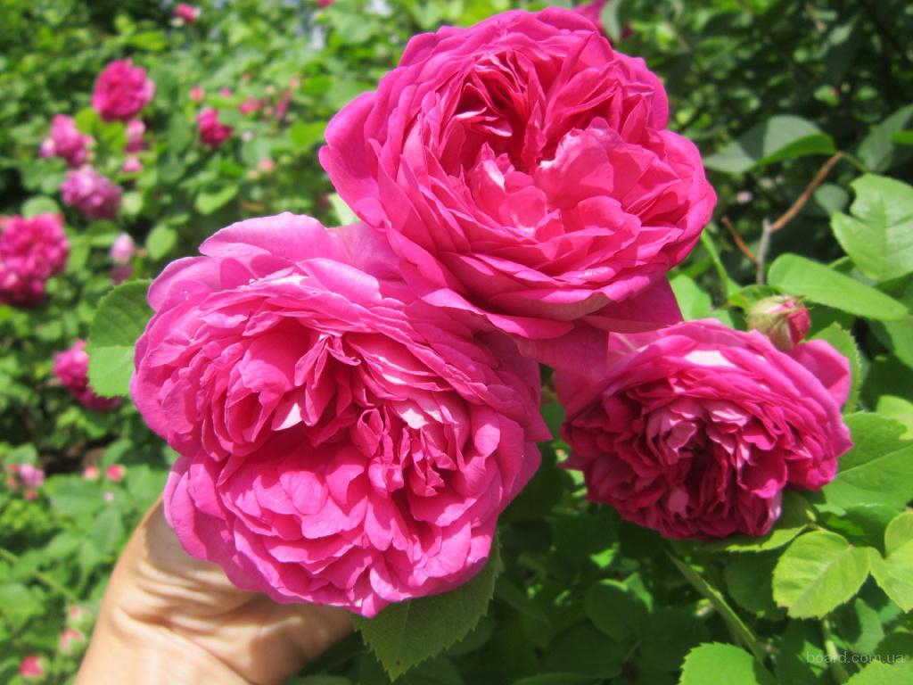 Продам саженцы чайной розы.