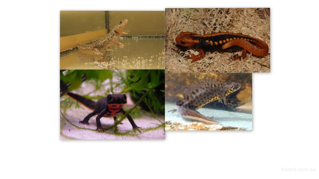 Разнообразные виды тритонов: испанский, крокодиловый, огненнобрюхий, тритон карелина. Доставка по всей Украине