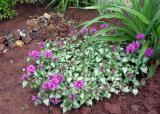 Продам саженцы яснотки мраморной – почвопокровное растение.