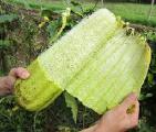 Продам семена люфы (растение-мочалка).