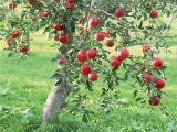 Продам саженцы фруктовых оптом