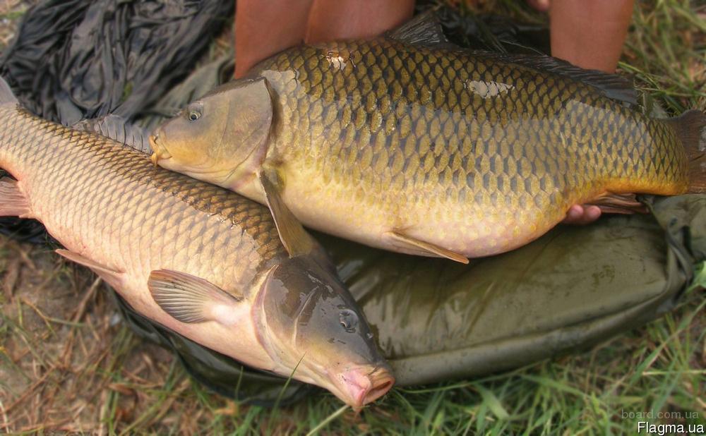рыбалка на белый амур сазан