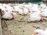 Продам подрощенных цыплят бройлеров Кооб-500