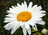 Продам саженцы ромашки садовой белой крупной и белой ранней (нивяник).