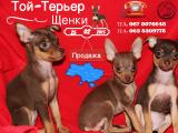 Щенки Той-Терьера