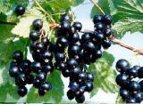 Смородина и плодовые деревья в ассортименте