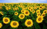 Предлагаем семена подсолнечника собственной селекции - «Аурис»