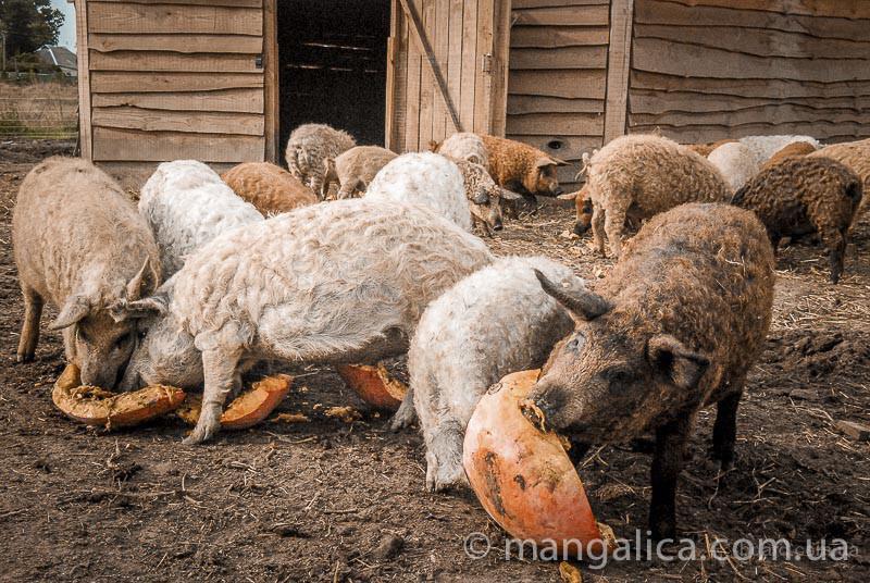 поросята венгерской мангалицы фото