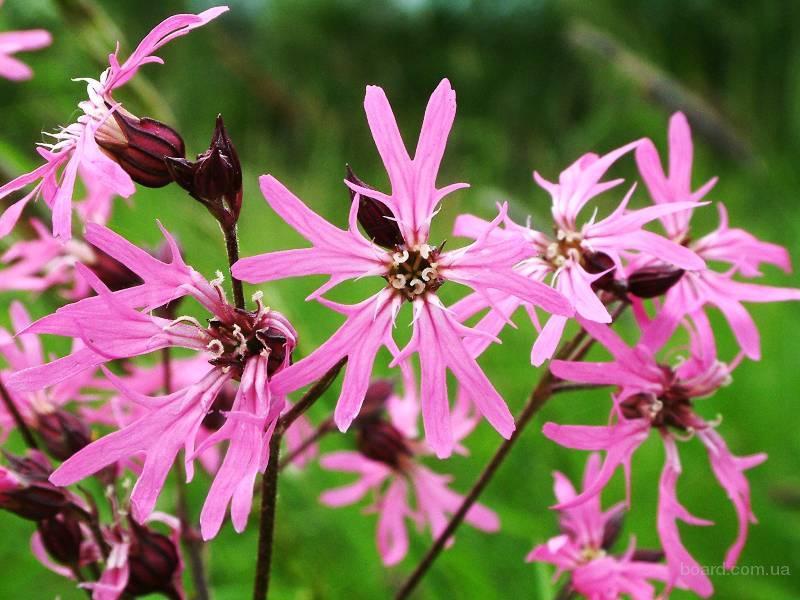 Коронария (кукушкин цвет),трава.