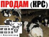 Реализую молочных бычков ( возраст до 2 мес.)