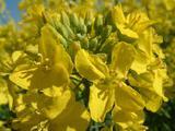 насіння озимого ріпаку