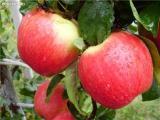Саженцы яблонь в ассортименте