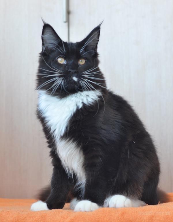 """""""Кот ученый"""" - Мейн кун котенок, для выставок и разведения"""