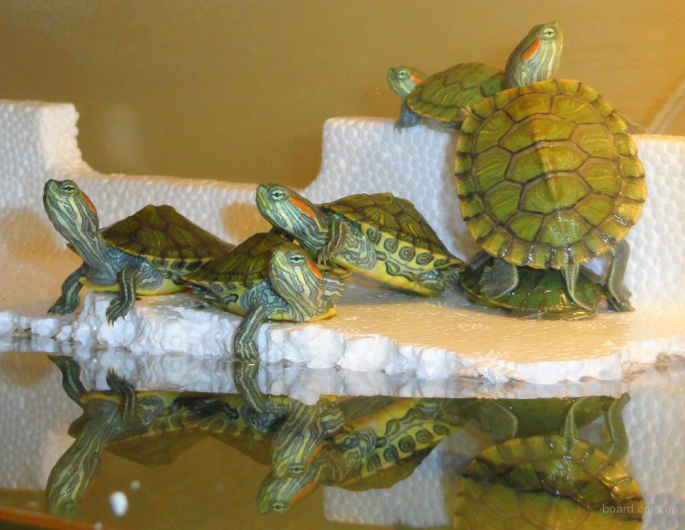 Продажа красноухих черепах оптом! Доставка