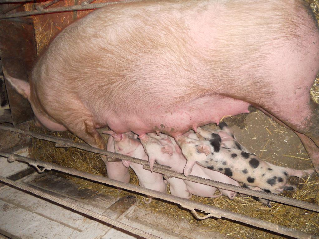 Продаются свиноматки Ф-1 покрытые хайпором