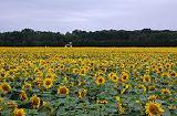 Фирма Denart-trans Sp. z o.o. Польша закупит урожай 2015 года таких культур как: лен, горчица, кориандр, фасоль,