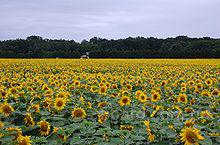 Фирма Denart-trans Sp. z o.o. Польша закупит урожай 2015 года таких культур как: лен, горчица, кориандр, фасоль, соя, рапс, подсолнечник, канареечник,