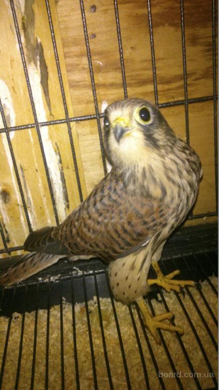 пустельга. Ручные птенцы для борьбы с воробьями и голубями на вашем участке