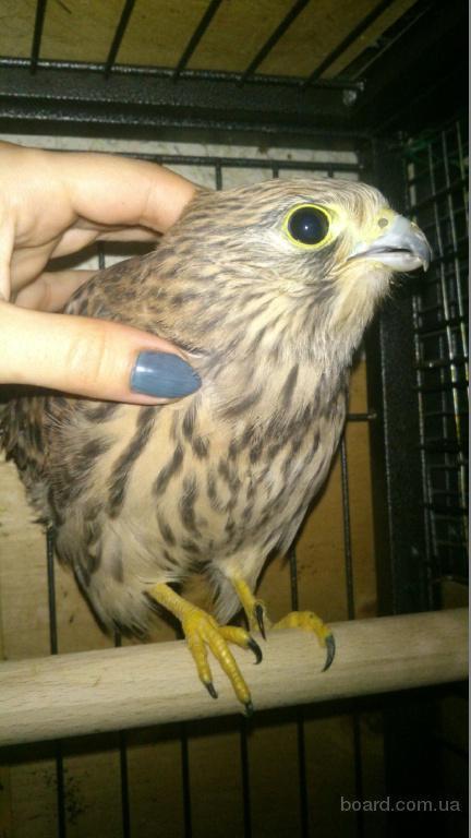 Сокіл боривітер. Ручні пташенята для боротьби з горобцями і голубами на вашій ділянці