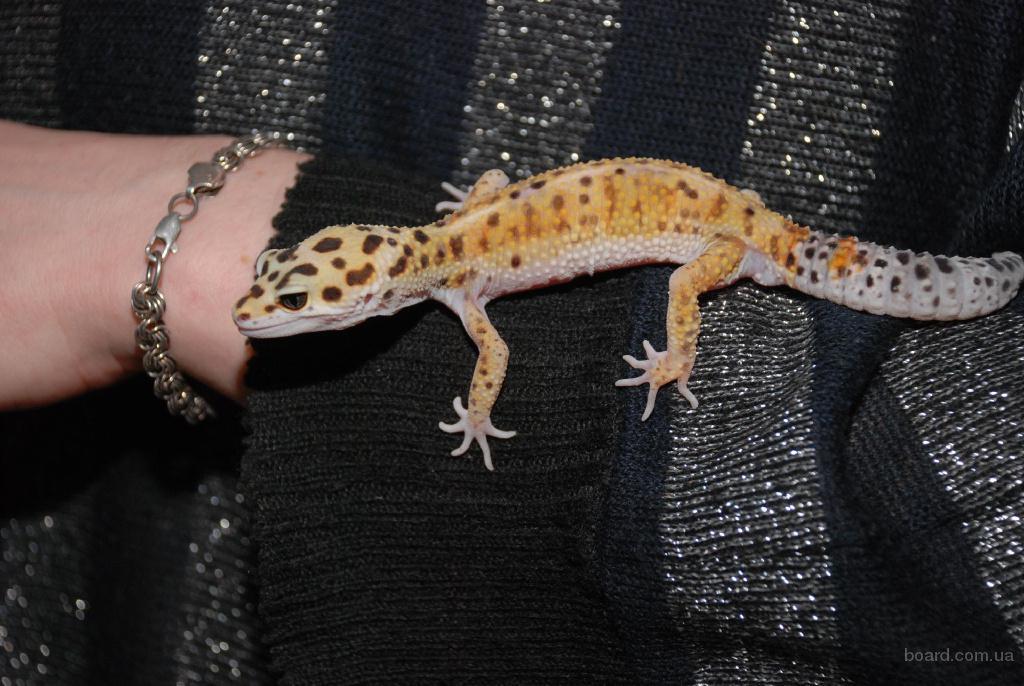 Эублефар или леопардовый пятнистый геккон разные цветовые морфы -  лучший выбор для новичков и детей - неприхотливая ручная ящерица