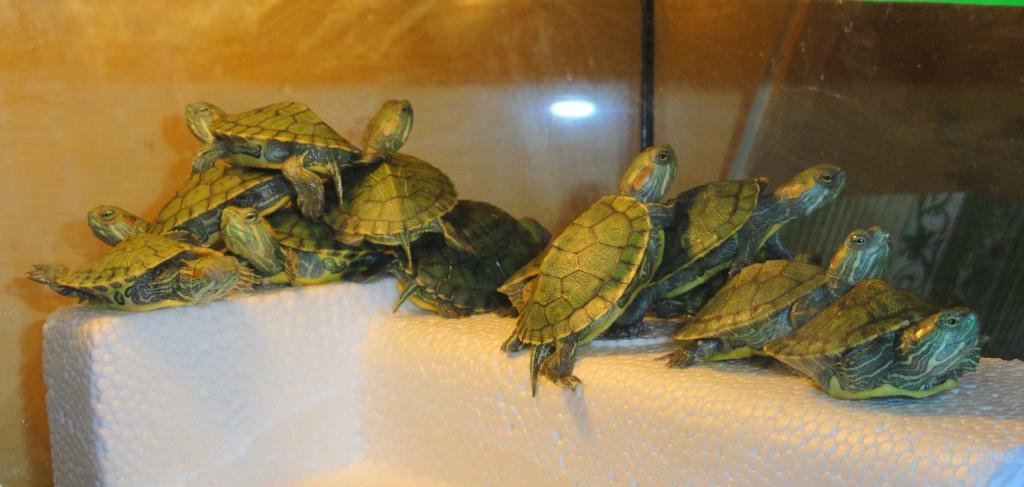 Как размножаются красноухие черепахи в домашних условиях пошагово