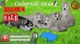Срочно продам щенков Сибирской хаски