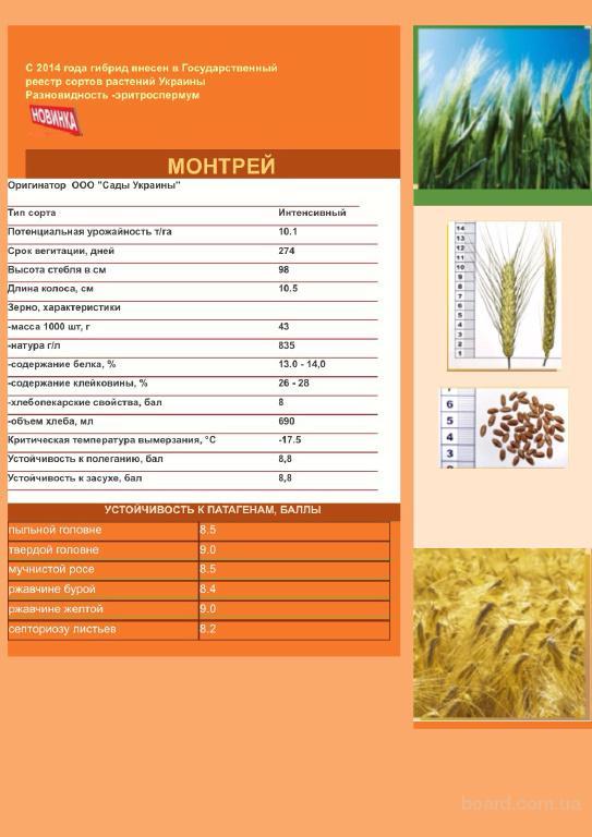 Пшеница Монтрей от оригинатора - 0975280