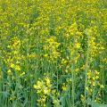 Куплю сою ячмень пшеницу подсолнечник рапс кукурузу постоянно