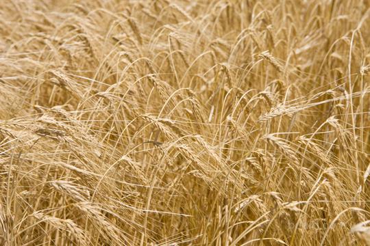 Куплю ячмень пшеницу рапс подсолнечник