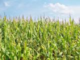 производим закупку зерно-бобовых и масличных культур по Украине