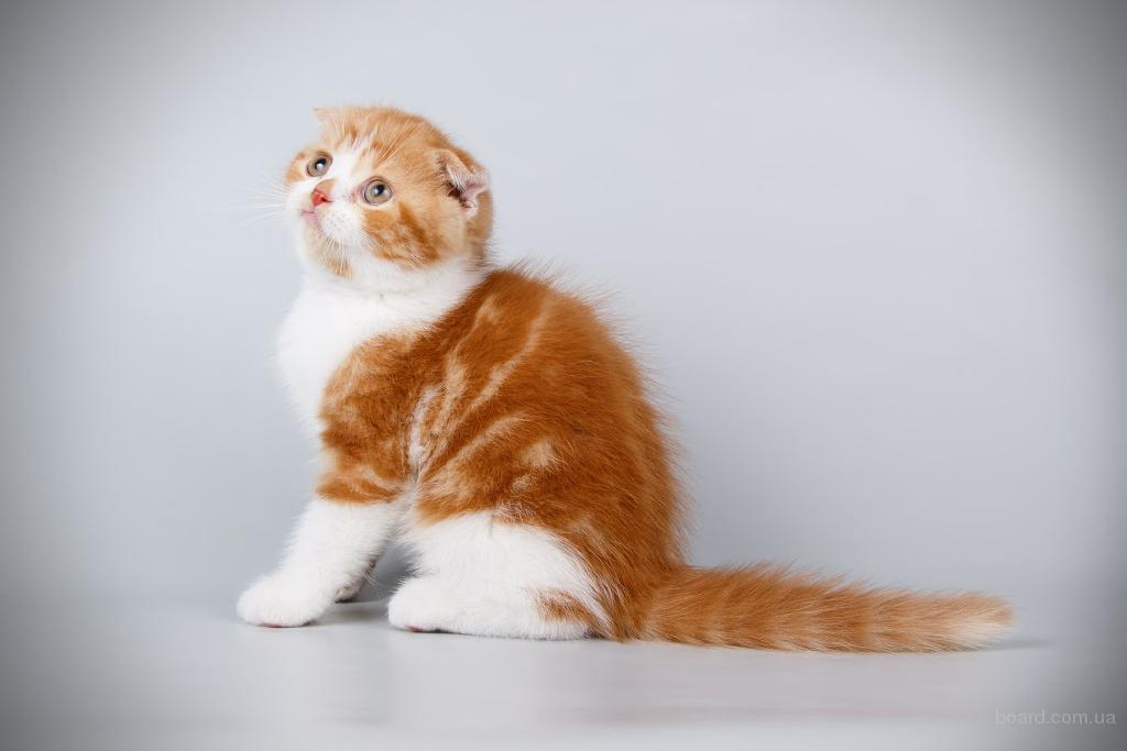 Элитные шотландские котята