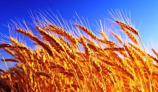 Куплю пшеницу ячмень кукурузу рапс сою постоянно