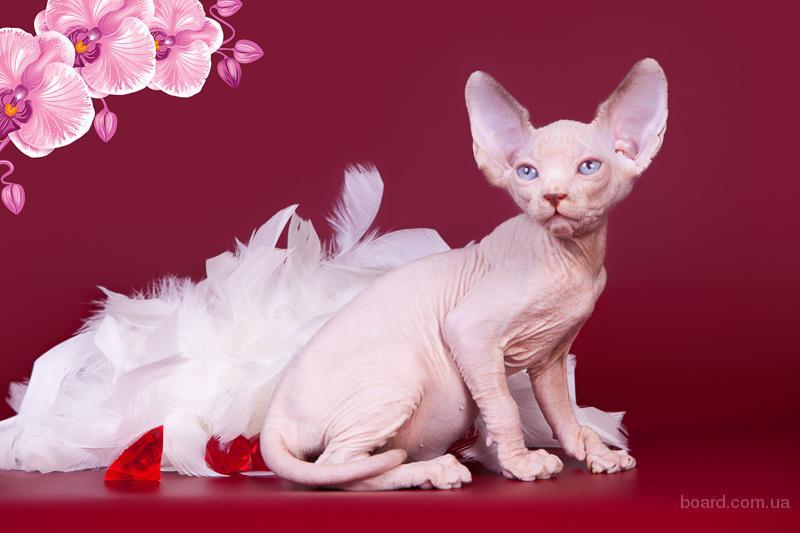 Яркие и нарядные котята породы канадский сфинкс.