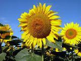 Семена подсолнечника: Ясон, Форвард, Оскол.