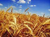 Продам семена пшеницы озимой