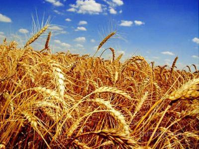 Продам насiння пшениця озима