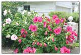 Продам саженцы гибискусов, бругмансии, альбиции, флоксов и др. красивоцветущих растений.