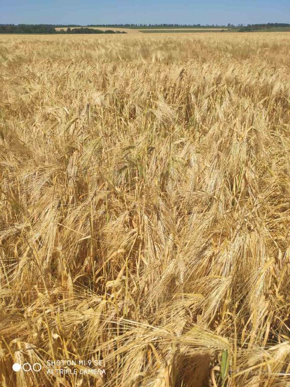 Озимая пшеница (мягкая) суперэлита!!!