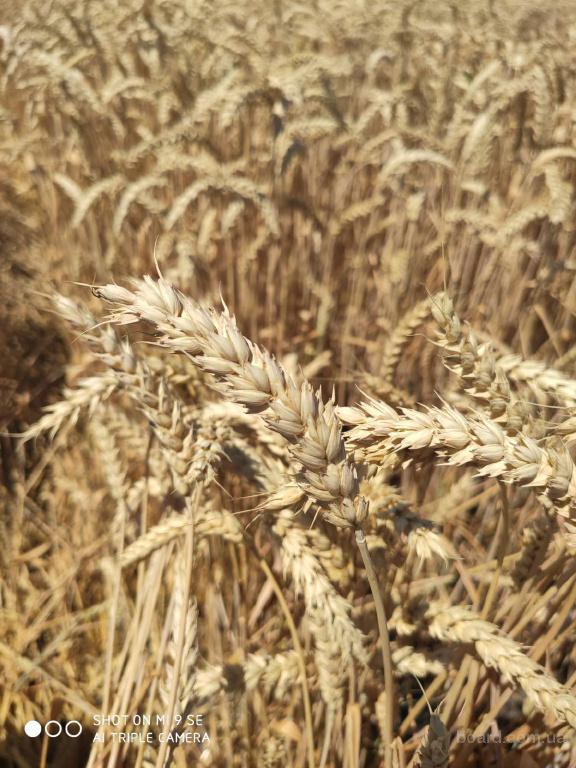 Озимая пшеница (твердая) суперэлита!!!!