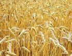Куплю пшеницу по Луганской области - регулярно